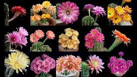 縮時攝影:看15種美麗的仙人球花在你眼前綻放