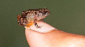 印度新種迷你夜蛙,小到能坐在一個人的指甲上