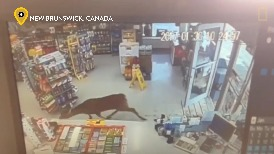 三隻鹿闖入超商,但牠們可不是要買咖啡或零食