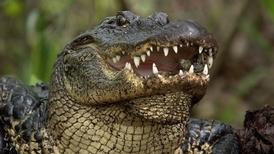 美國短吻鱷是自然界中的好媽咪