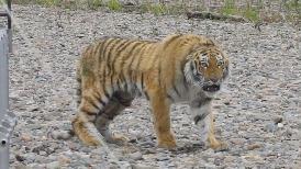 西伯利亞虎「弗拉迪克」的野放過程