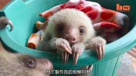 可愛警告––搖椅上的樹懶寶寶