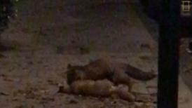 人行道上驚見狐狸打鬥