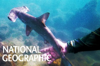 加拉巴哥群島的雙髻鯊孵育場
