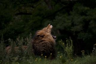 作夢的獅子