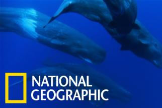 與抹香鯨家族一同悠遊大海