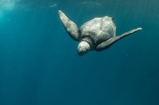海裡尋龜千百度──「海龜痴漢」蘇淮的革龜觀察筆記
