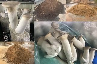 小菇不獨處 臺灣年用5億菇類太空包 農試所新解方:二度利用、三次再生化為泥炭土