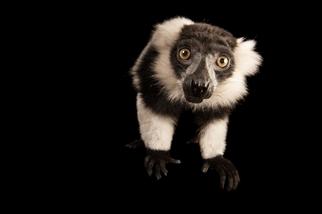 馬達加斯加的著名狐猴,可能在2080年徹底失去牠們的雨林