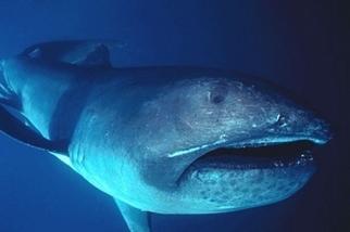鯨鯊、鬼蝠魟列保育類名單預告 珍稀巨口鯊臺灣資料最多 海保署新研究揭祕