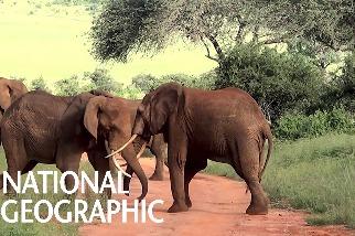 五頭公象打群架!