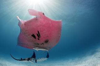 夢幻「粉紅鬼蝠魟」出沒澳洲海域!這究竟是怎麼一回事?