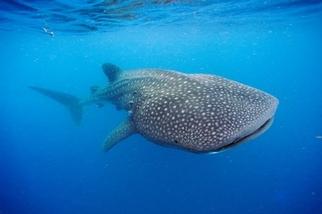 利用冷戰核試爆定年,揭露鯨鯊可能活到百年之久