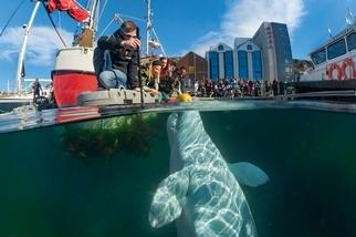 白鯨的身世之謎