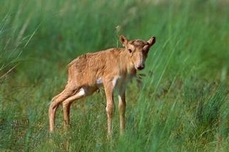 長相奇特的「長鼻子羚羊」湧現嬰兒潮,為極危物種帶來希望
