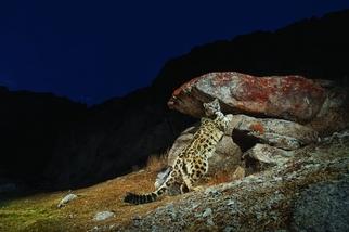 喜馬拉雅的幽靈豹
