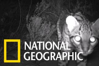 貓貓出沒!罕見美洲豹貓現蹤德州
