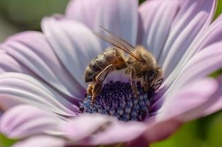 歐洲審計院:歐盟未能善盡保護蜜蜂的責任 大開禁用農藥後門