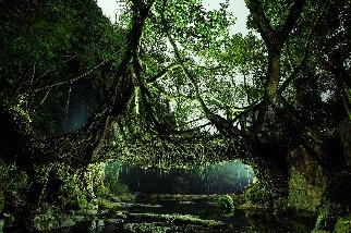 活生生的樹橋