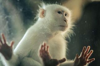 白化症的猴子
