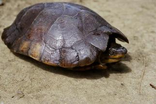 名列前25大瀕危龜種 研究:近15年仍有上千菲律賓粗頸龜遭走私