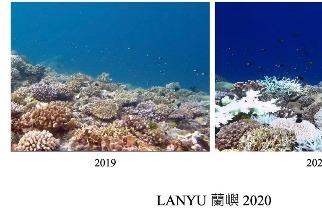 中研院:蘭嶼南部過半珊瑚白化 綠色和平將啟動復元監測計畫