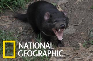 替凶巴巴的袋獾裝上攝影機項圈