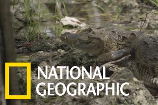 科學家為什麼要在凌晨3點抓鱷魚?