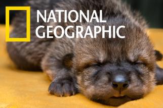 這些墨西哥狼寶寶一出生就有重大任務!