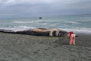 臺灣第一筆藍鯨擱淺紀錄 初步鑑定來自北印度洋區類群