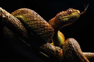 致命的蛇吻