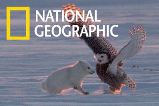 北極狐與雪鴞一起玩耍?但現實其實沒那麼夢幻……