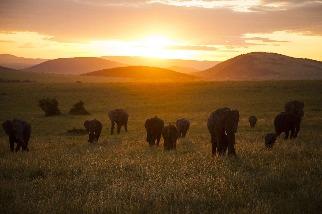 落日下的象群