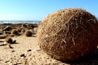 海草球中有奧祕 研究:地中海海草床每年「收集」近9億件塑膠垃圾