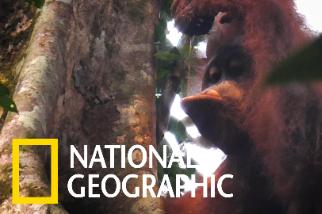 今晚我想來點白蟻配雨水」看紅毛猩猩吃喝其實挺療癒!