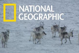 用空拍機觀察馴鹿間的互動關係