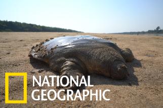 跟著柬埔寨保育團體野放瀕危「巨鱉」