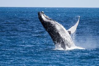 氣候變遷間接殺鯨? 研究揭座頭鯨繁殖困難的可能原因:鯡魚減少、營養不足