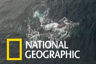 灰鯨交配時,常有「第三者」提供技術支援?