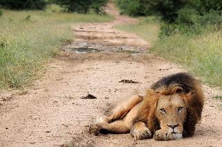休息中的萬獸之王