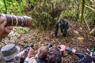 愛自拍的遊客可能會害野生大猩猩染上COVID-19與其他疾病