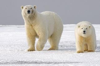 暖化讓動物也「過勞」 研究:北極熊、獨角鯨花四倍力氣求生存