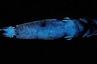 這種深海鯊魚是已知最大型的發光脊椎動物