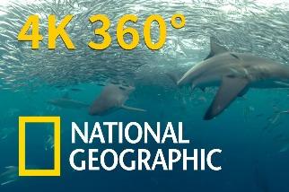 4K 360° VR臨場體驗:一頭栽入瘋狂搶食的鯊魚群!