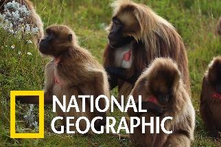 這個社區如何保護世界上唯一的「食草猴」?