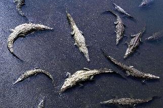淺灘上的鱷魚
