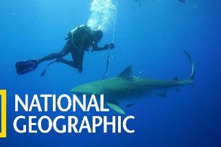 看潛水員跟「無所不吃」的虎鯊共泳