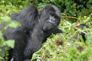 大猩猩為什麼要搥打胸部? 科學家:其實是避免打鬥的訊號