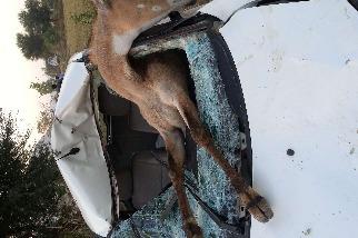 「鹿」遇車禍
