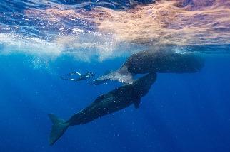 跟我們一樣,鯨魚也有文化,但要如何拍攝下來?